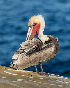 _MG_4370 - Pelican (AM)