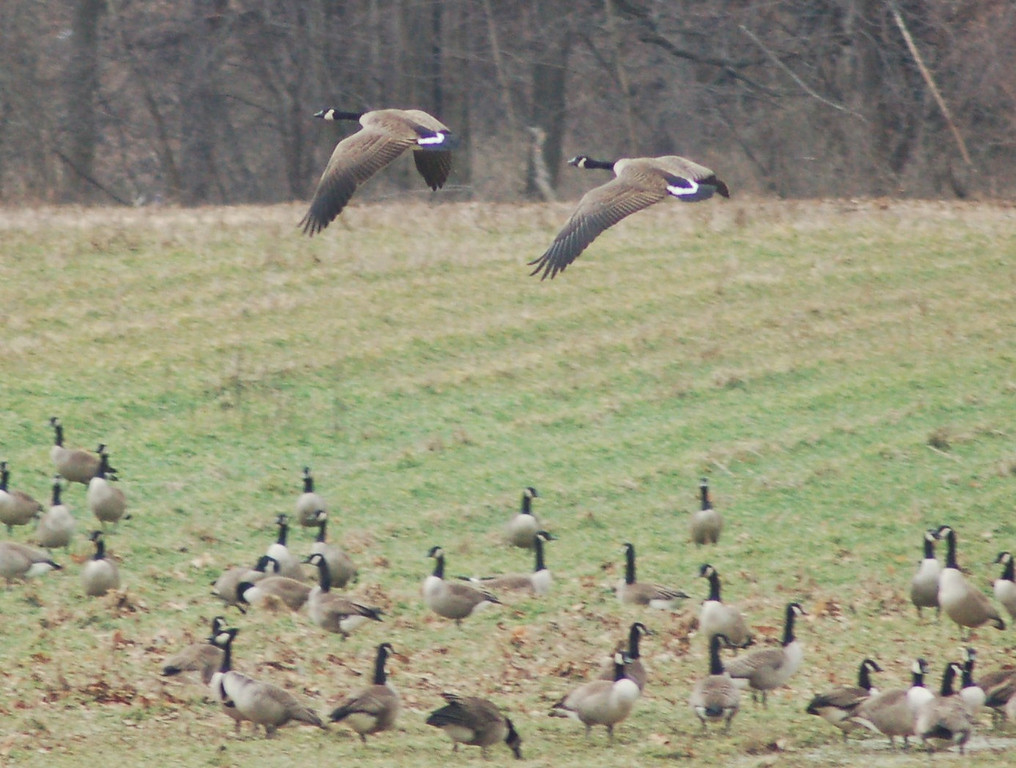Rt 42 Geese 041