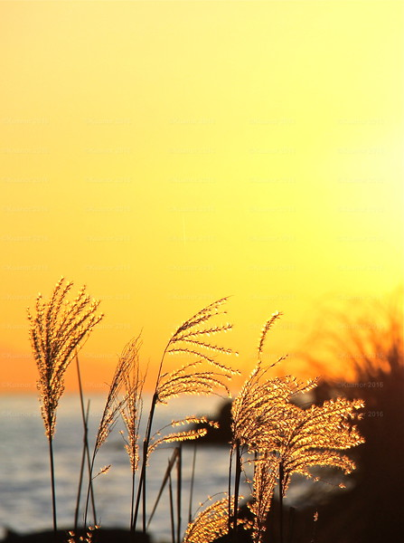 Limned<br /> Highlighted in gold, ears of wheat awaited the turn of day close by the edge of the sea.