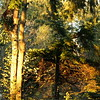 Autumnal Splendour<br /> Horizontal sunlight lit up the under-canopy at Ambleside in West Vancouver.