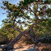Bonzai-like tree in Wonderland area of Acadia National Park