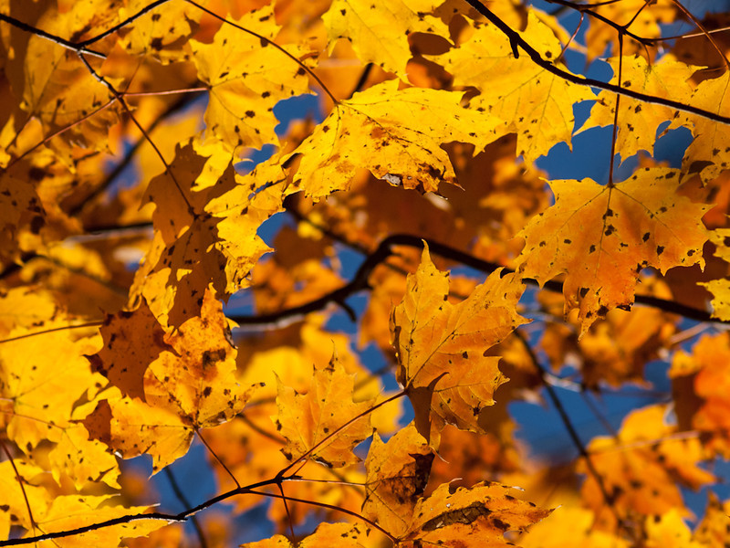 I think these are sugar maple leaves, but whatever they are, they were glorious in the morning sun. I stood below the branches with the OM 90mm at f5.6 and picked out a good group. One of the unique pleasures of autumn in NH.