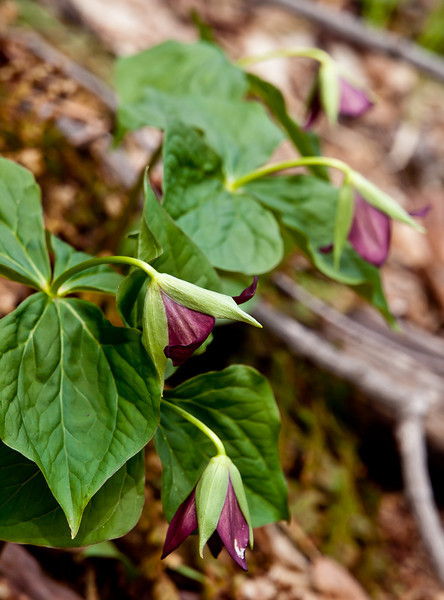 purple trilliums on a forest hillside.  I love this shot, the symmetry and the unusual semi-closed blooms, the subdued light, it all works.