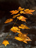 Spotted this perfectly lit maple at Smart's Brook. BOLO for Melissa's shot to see how differently we both saw this shot. OM 90mm at f4.