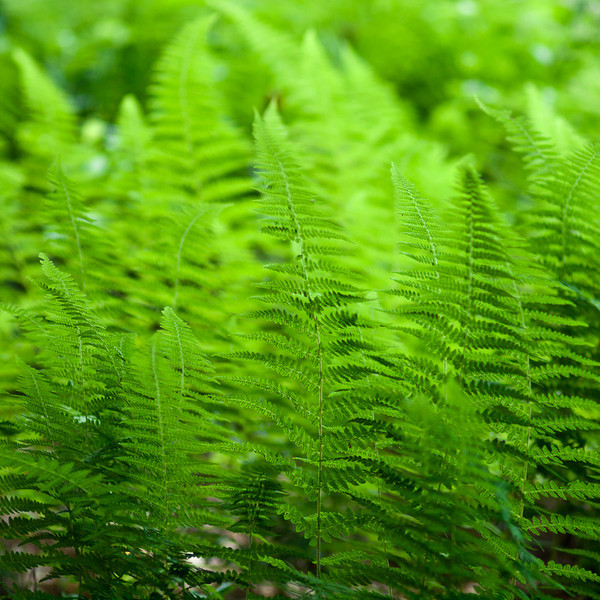 As I sat on a bench by a beaver pond, I watched the changing patterns of light in the ferns.  Shot with the legacy OM 90mm f2 macro at probably wide open or nearly.