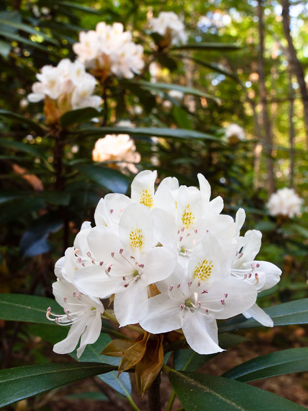 Ah, after a long wait the giant rhododendrons are finally blooming!  The early morning sun breaking through the canopy was perfect.