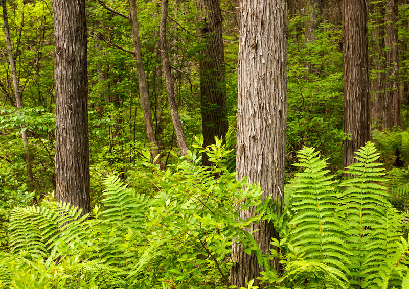 Almost everywhere you look is a great composition of cedar trunks and ferns.  This one doesn't have much in the way of laurel like the one in Manch does.