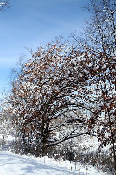 This Oak has years of seasonal experience.
