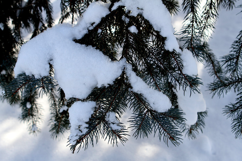 Near the perimeter of Pheasant Branch an evergreen enjoys a fresh coat of snow.