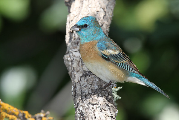 Tanagers & Buntings
