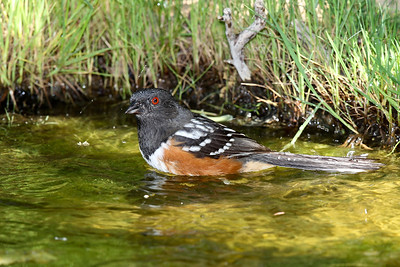 Spotted Towhee bathing