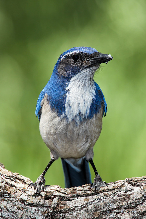 Jays, Crows & Magpies