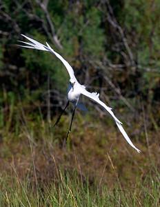 Snowy Egret banks in ...