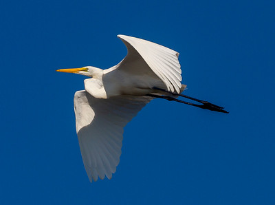 Another look at the Great Egret flying