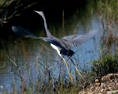 Tricolor Heron taking off from the marshes