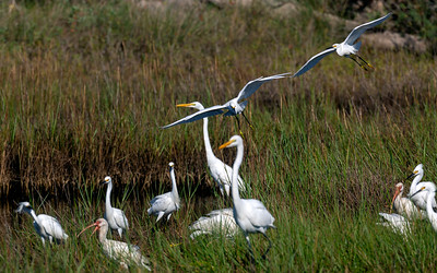 Two Snowy Egrets come in for a landing.