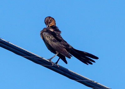 Common Grackle on a cable