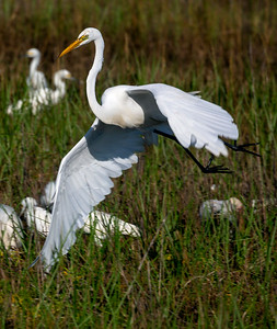 A Great Egret flies over the watering hole.