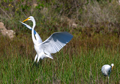 Great Egret Landing at an Egret/Ibis/Spoonbill watering hole.