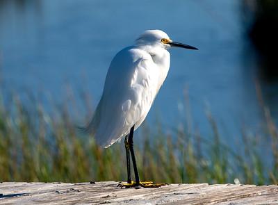Contemplative Snowy Egret