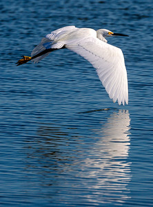 Snowy Egret skimming the water