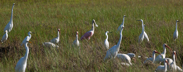 Great and Snowy Egrets, Roseate Spoonbills, and White Ibis ... all together