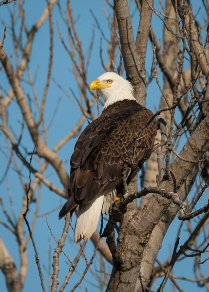 Fox Valley Bald Eagles (Elgin & Carpentersville)