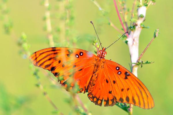 A parte eguale butterflies