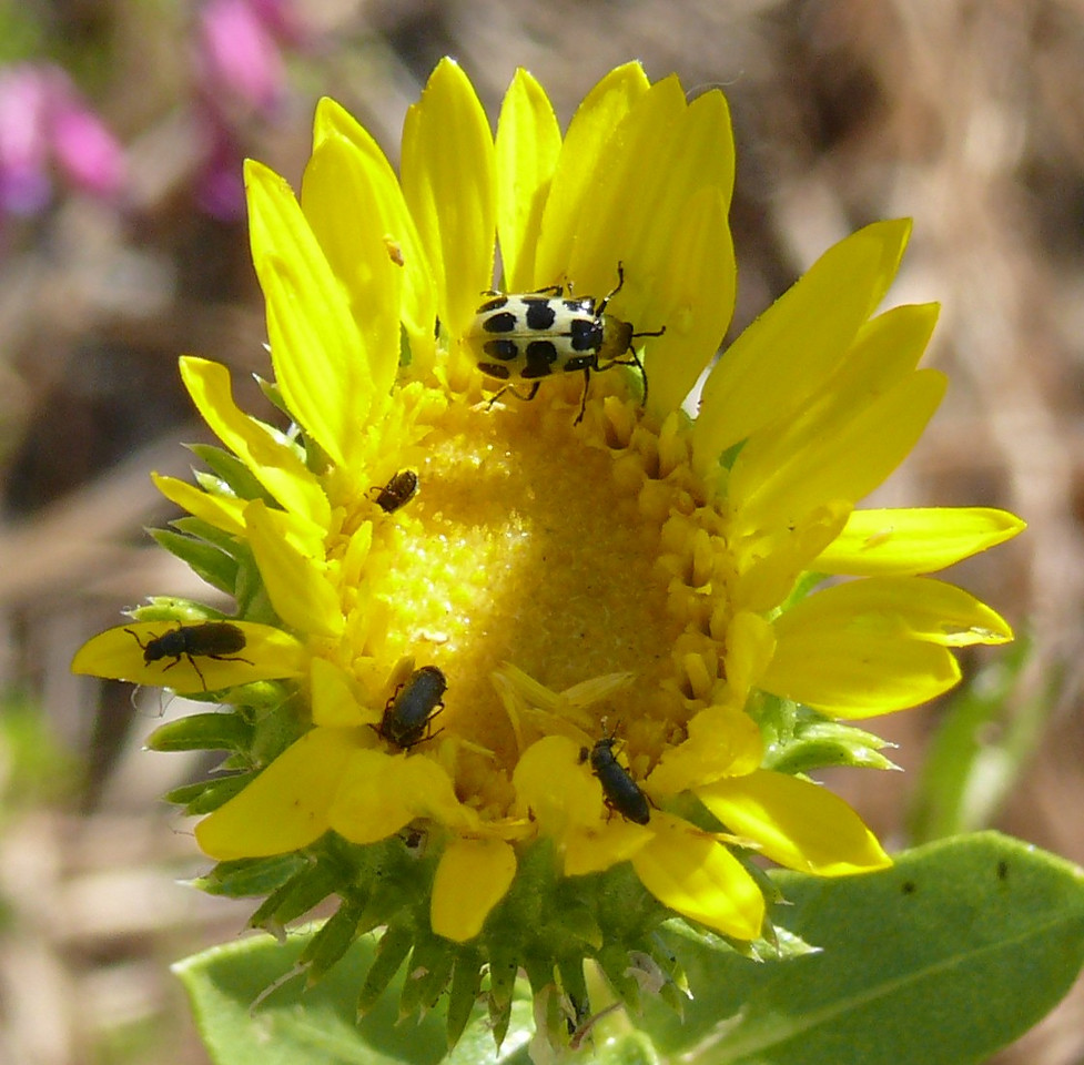 I think that the spotted beetle is a cucumber beetle.