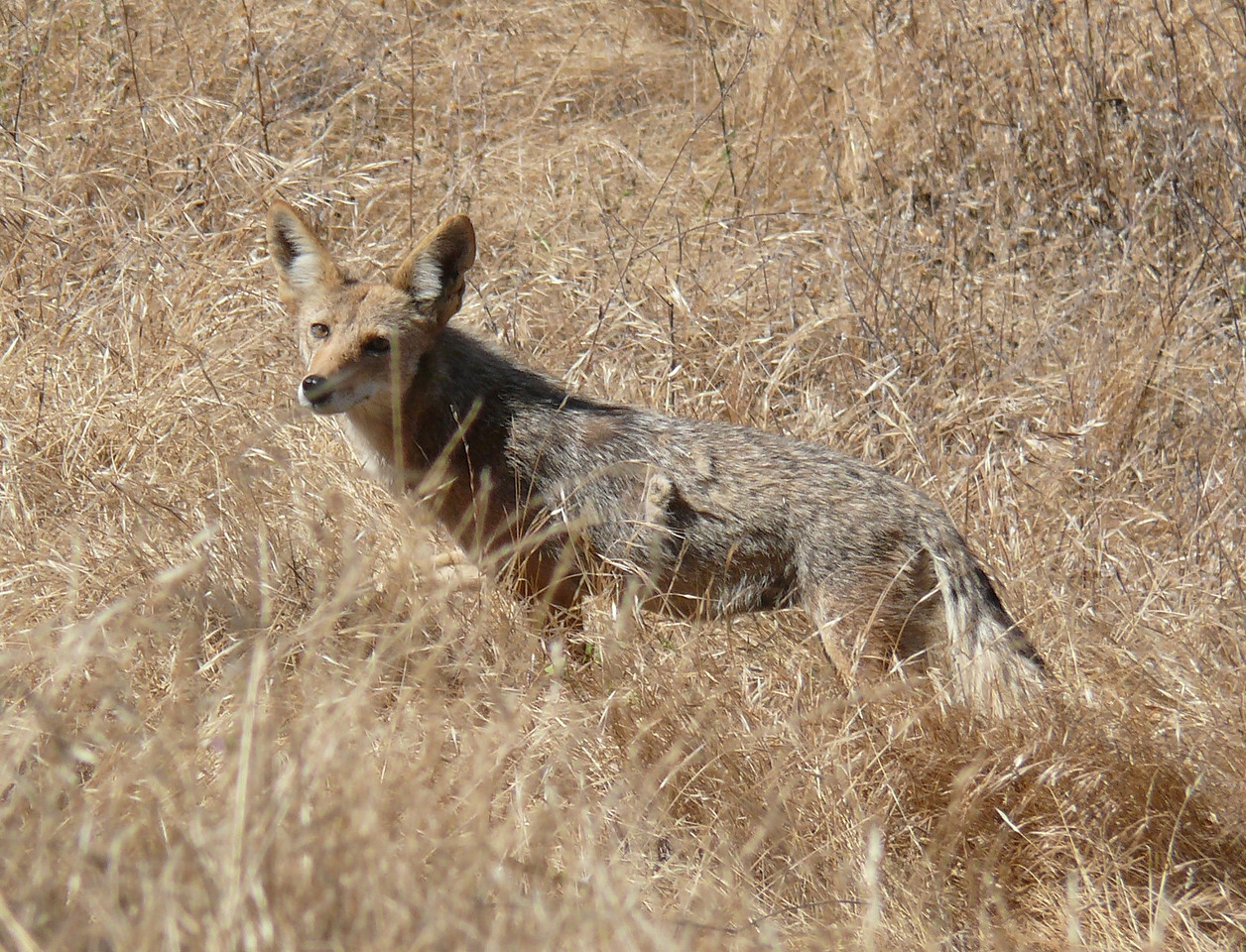 Then we saw the coyote in full view.  It was a nursing mother probably with a den and pups somewhere nearby.