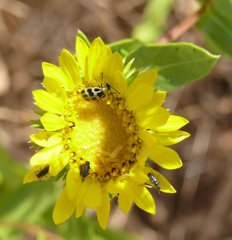 grindelia_spotted bug_2_P1100732