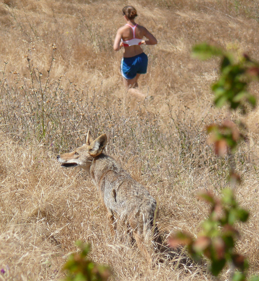 This picture was taken with a long zoom lens so the coyote and the runner appear to be closer together than they actually were.  It does show that we are sharing Shell Ridge Open Space with wild creatures.