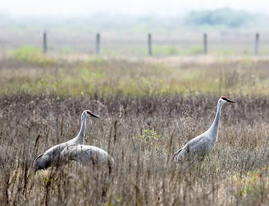 Three Sandhill Cranes in a field
