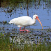 White Ibis foraging in a swamp