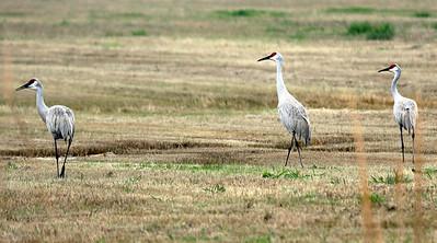 3 Sandhill Cranes off Stewart Road, Galveston, TX