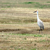 3 Sandhill Cranes off Stewart Road, Galveston, TX
