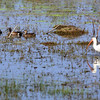 4 Blue-winged Teal and a White Ibis in a swamp