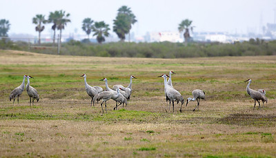 Another look at 15 Sandhill Cranes