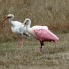 White Ibis and Roseatte Spoonbill making faces