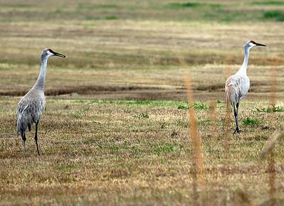Two Sandhill Cranes apart