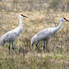 Two Sandhill Cranes together