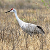 Lone Sandhill Crane moving.
