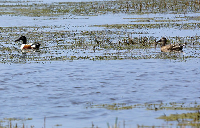 Northern Shoveler, male and female (My first sighting.)