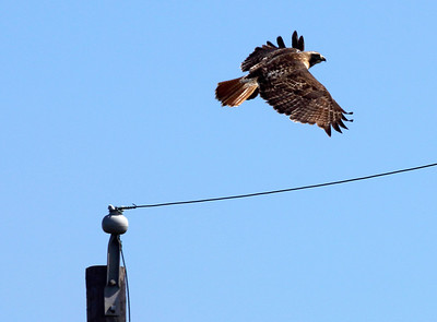 A Red-tailed Hawk leave his perch on a poie ...