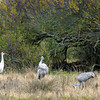Four Sandhill Cranes by a thicket