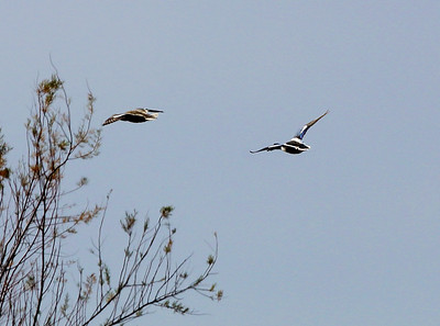 Male and female Blue-winged Teal taking flight