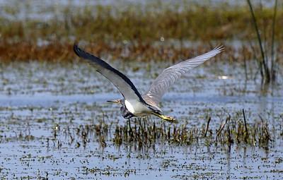 Tricolor Heron taking flight