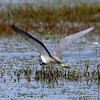 Tricolor Heron taking flight