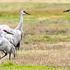 Another 15 Sandhill Crane bookmark