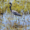 Tricolor Heron in a swamp